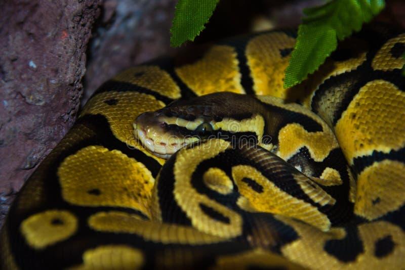 Gele slang in gevangenschap stock afbeeldingen
