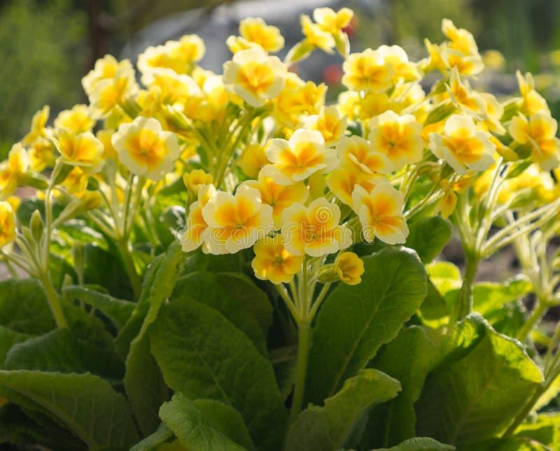 Gele sleutelbloem of primula in de de lentetuin royalty-vrije stock afbeelding