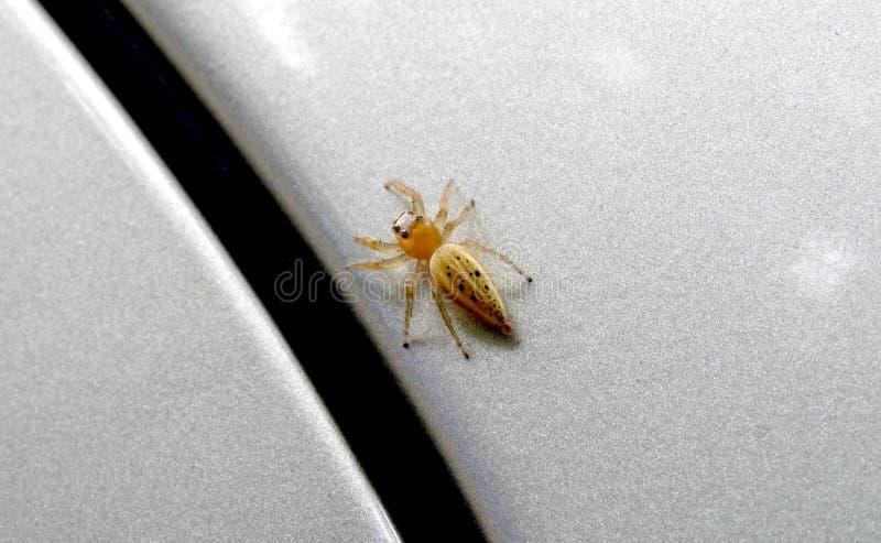 Gele spin met zwarte punten en grote ogen op het hoofd stock foto