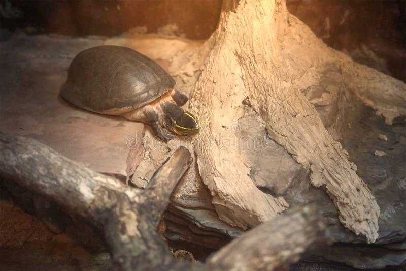 Gele strook hoofdschildpad die neer met zonlicht lopen stock fotografie