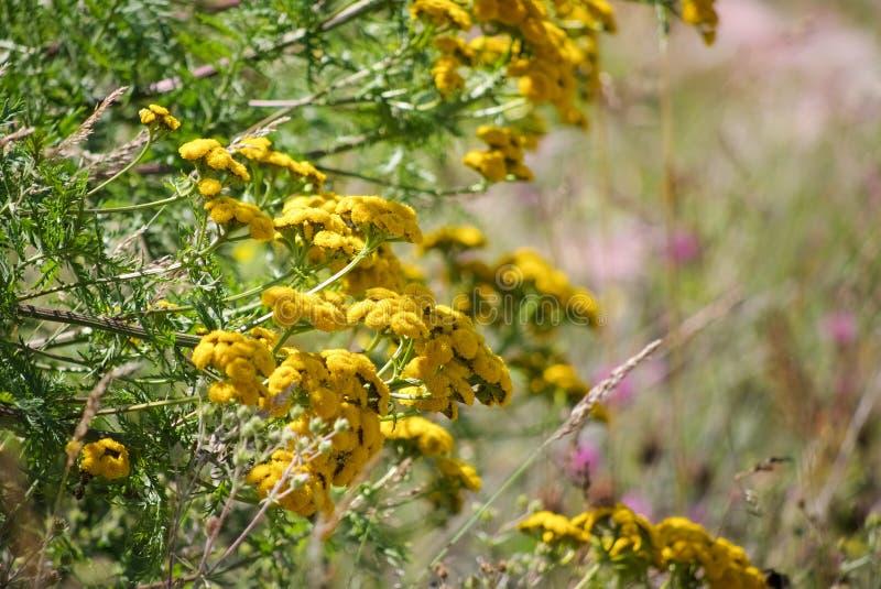 Gele struik van tansy bloemen op een achtergrond van bloeiende weiden stock afbeeldingen
