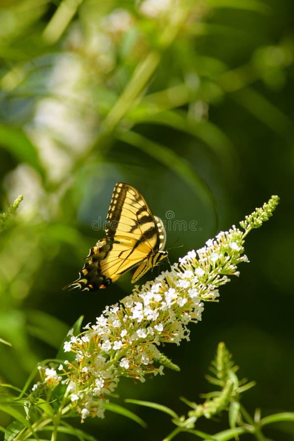 Gele swallowtailvlinder op een witte vlinderstruik royalty-vrije stock afbeeldingen