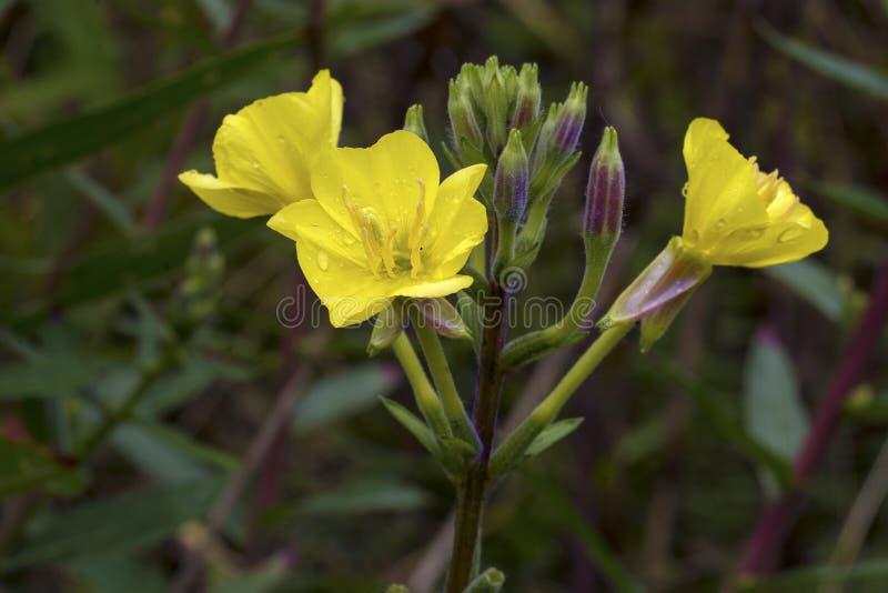Gele teunisbloem (Oenothera-biennis), geneeskundeinstallatie stock foto