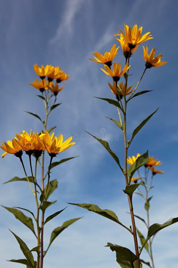 Gele topinambur bloeit madeliefjefamilie tegen blauwe hemel stock afbeeldingen