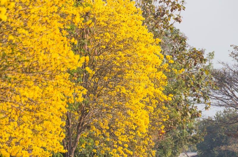 Gele trompetboom royalty-vrije stock afbeelding