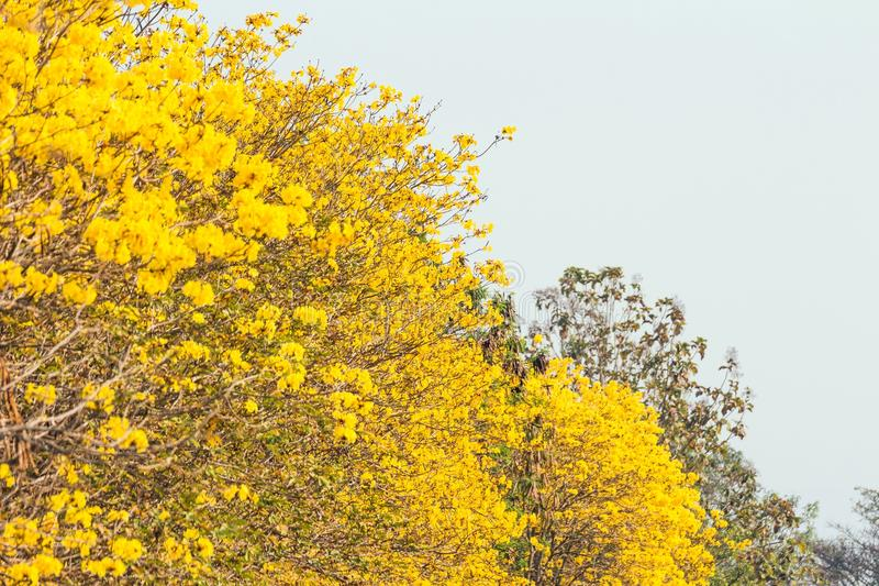Gele trompetboom stock afbeelding