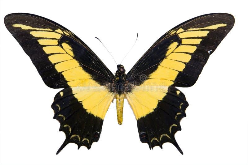 Gele Tropische vlinder stock afbeelding