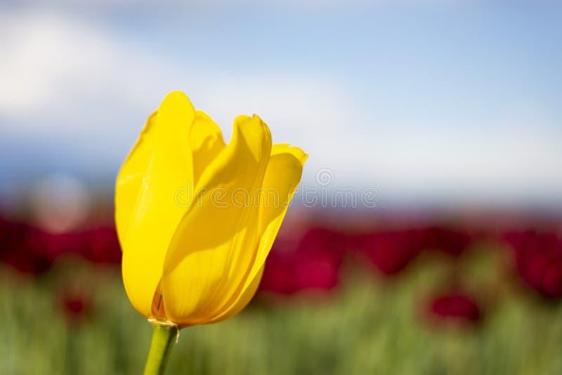 Gele Tulip Flower met vage blauwe, rode, en groene achtergrond royalty-vrije stock afbeeldingen