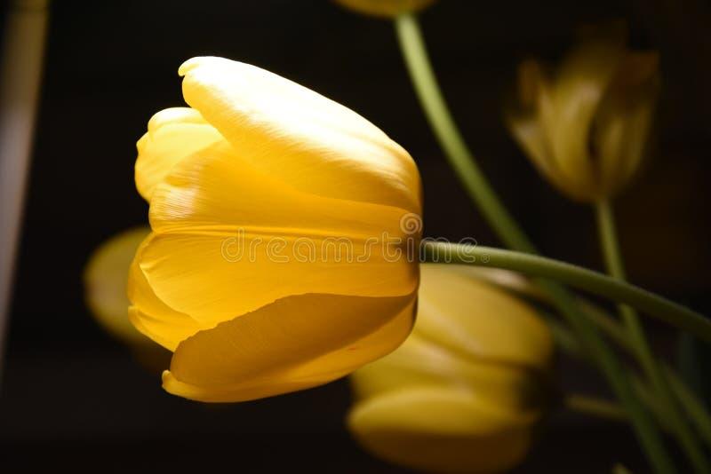 Gele tulp stock foto's