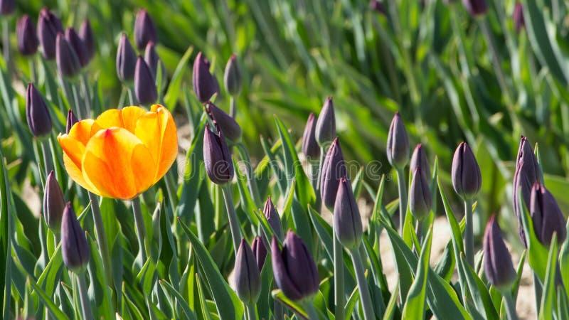 Gele tulp in bloembed met purpere tulpen royalty-vrije stock fotografie
