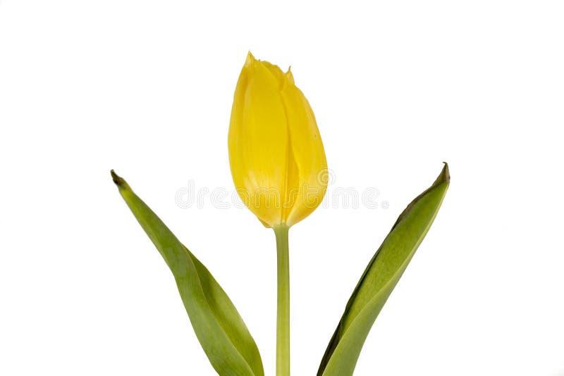 Gele tulp op een witte achtergrond royalty-vrije stock afbeeldingen