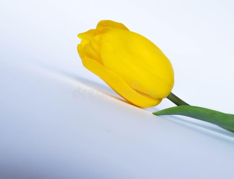 Gele tulp op witte achtergrond Gele tulpen in een vrouwelijke hand op een witte achtergrond Tulpenclose-up royalty-vrije stock afbeelding