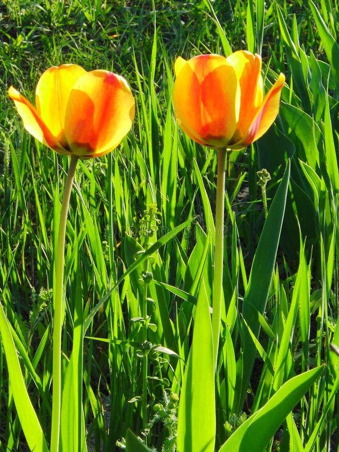 Gele tulp twee royalty-vrije stock foto's