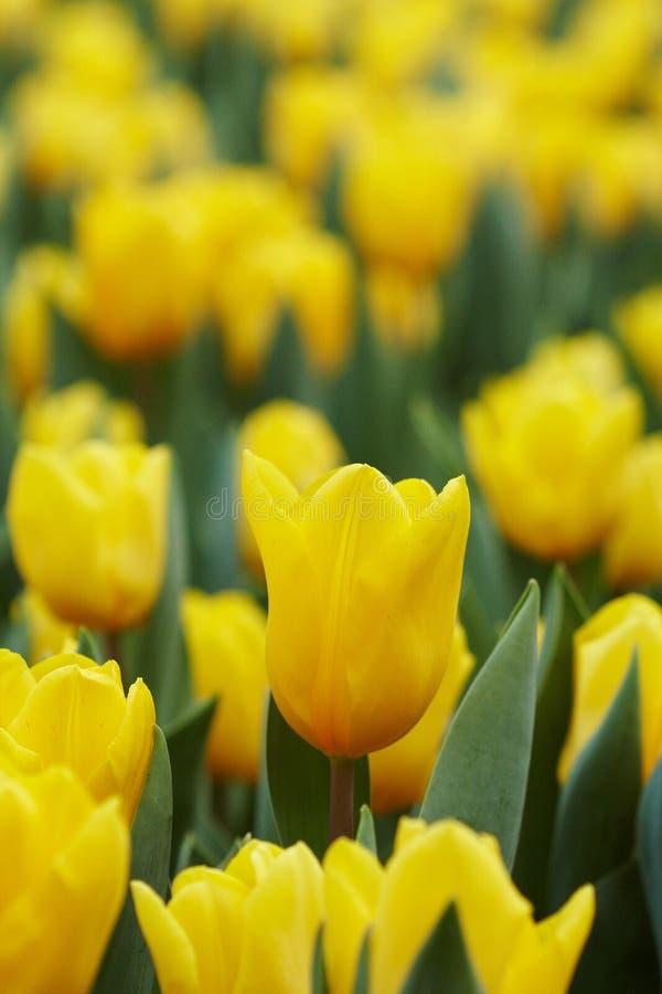 Gele Tulpen stock fotografie