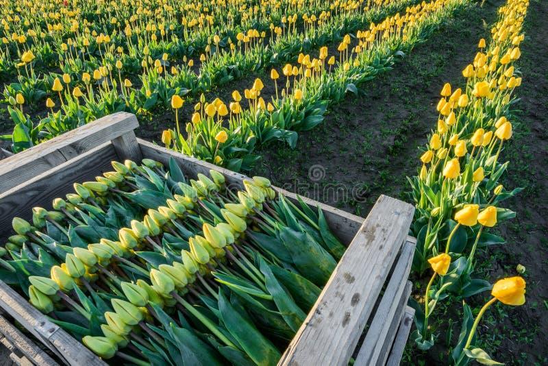 Gele tulpen in dozen gedaan en klaar voor markt stock afbeelding