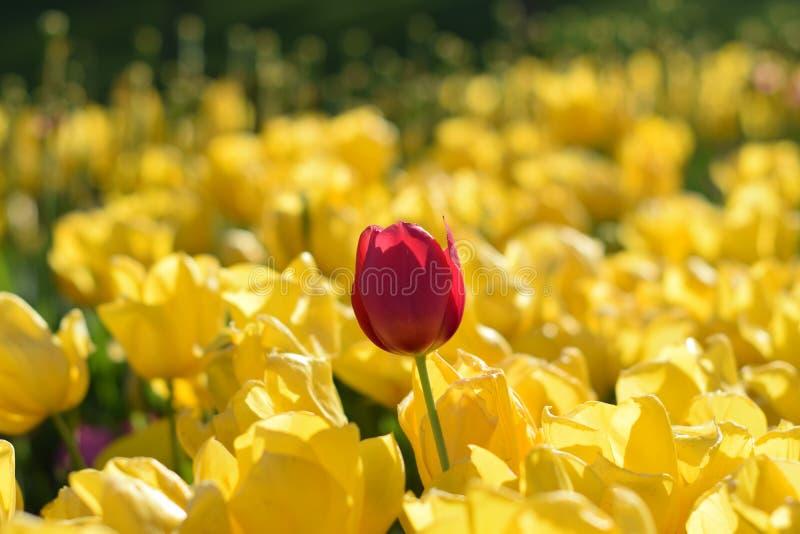 Gele tulpen en rode tulp in de lente stock fotografie
