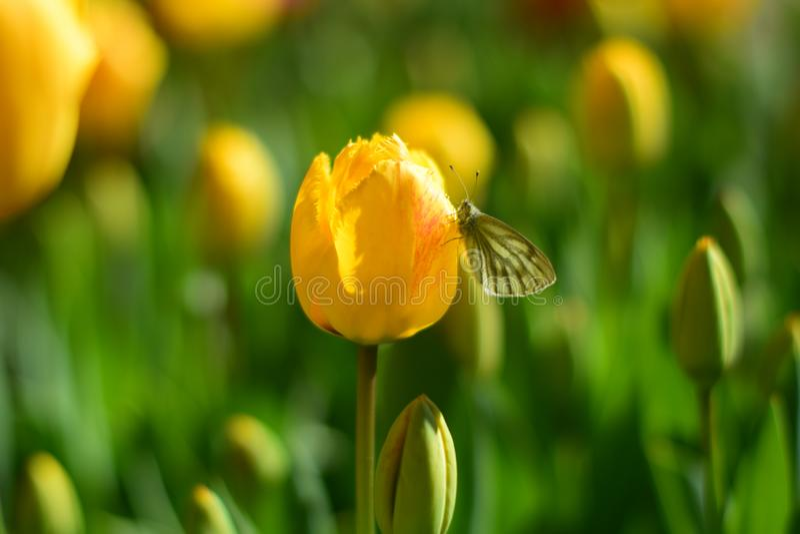 Gele tulpen en vlinder in de lente royalty-vrije stock afbeelding