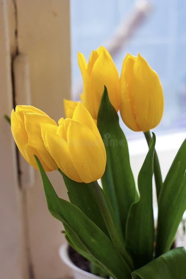 Gele tulpen op een wit venster royalty-vrije stock afbeeldingen