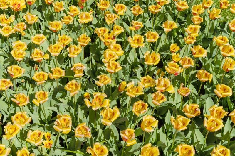 Gele tulpen op een zonnige dag royalty-vrije stock afbeeldingen