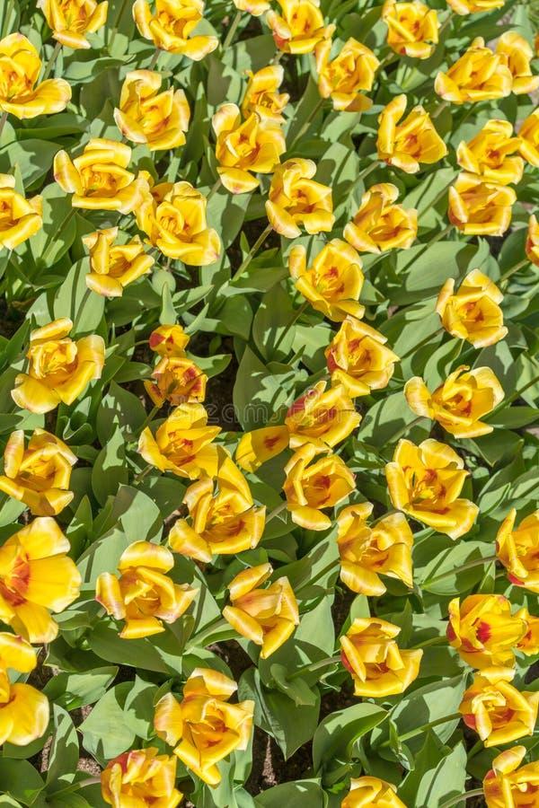 Gele tulpen op een zonnige dag royalty-vrije stock fotografie