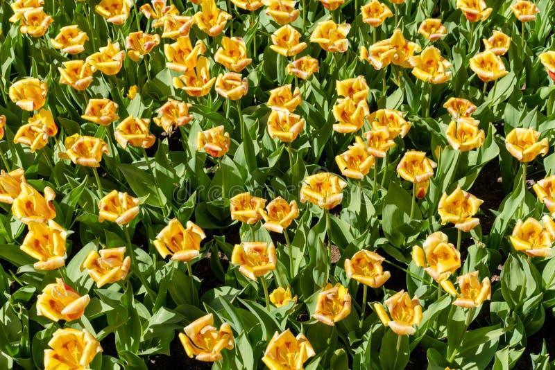 Gele tulpen op een zonnige dag stock afbeeldingen