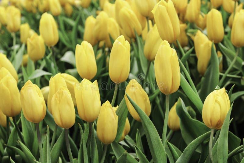 Gele tulpenbloem met groen blad royalty-vrije stock foto