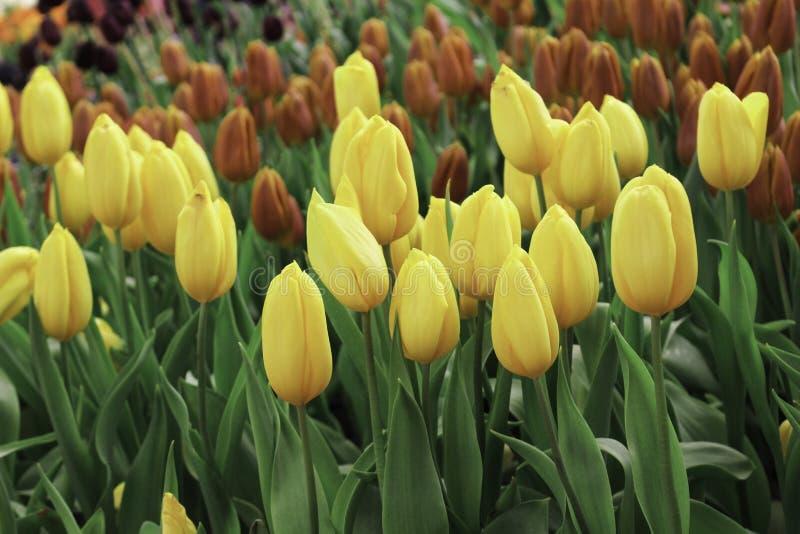 Gele tulpenbloem met groene bladachtergrond in tulpengebied stock fotografie