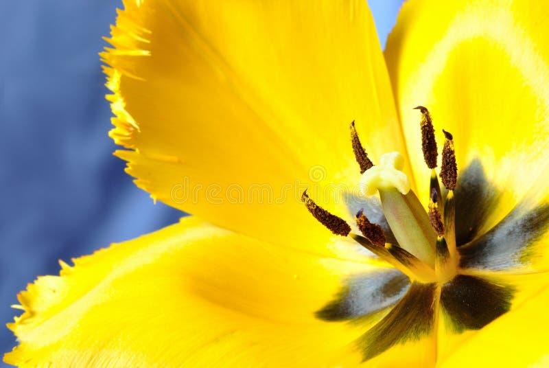Gele tulpenmacro stock fotografie