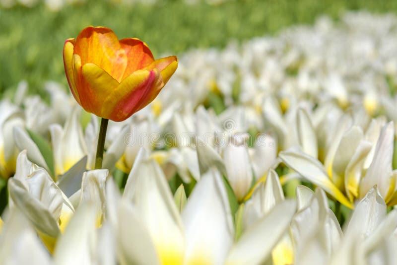 Gele tulpentribunes uit boven witte tulpen stock foto