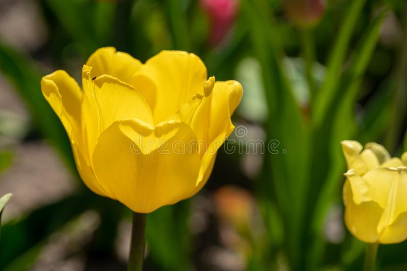 Gele tulpentribunes voor een tulpengebied royalty-vrije stock afbeelding