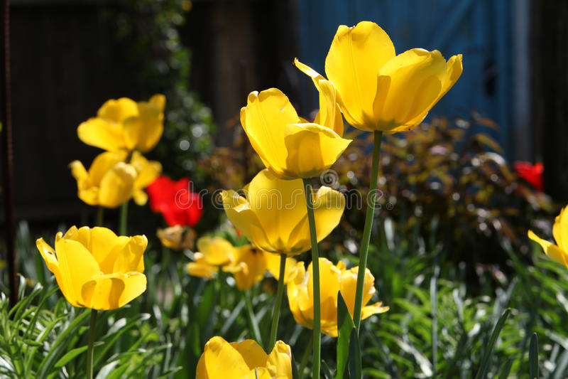 Gele tulpentuin stock foto's