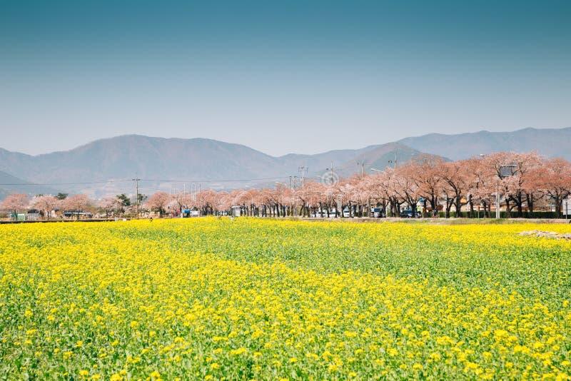 Gele van de verkrachtingsbloem en Kers bloesembomen bij de lente in Gyeongju, Korea stock fotografie