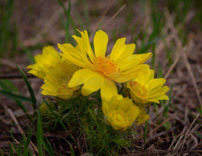 Gele van fazant` s oog of Adonis vernalis is een mooie wilde bloem royalty-vrije stock foto