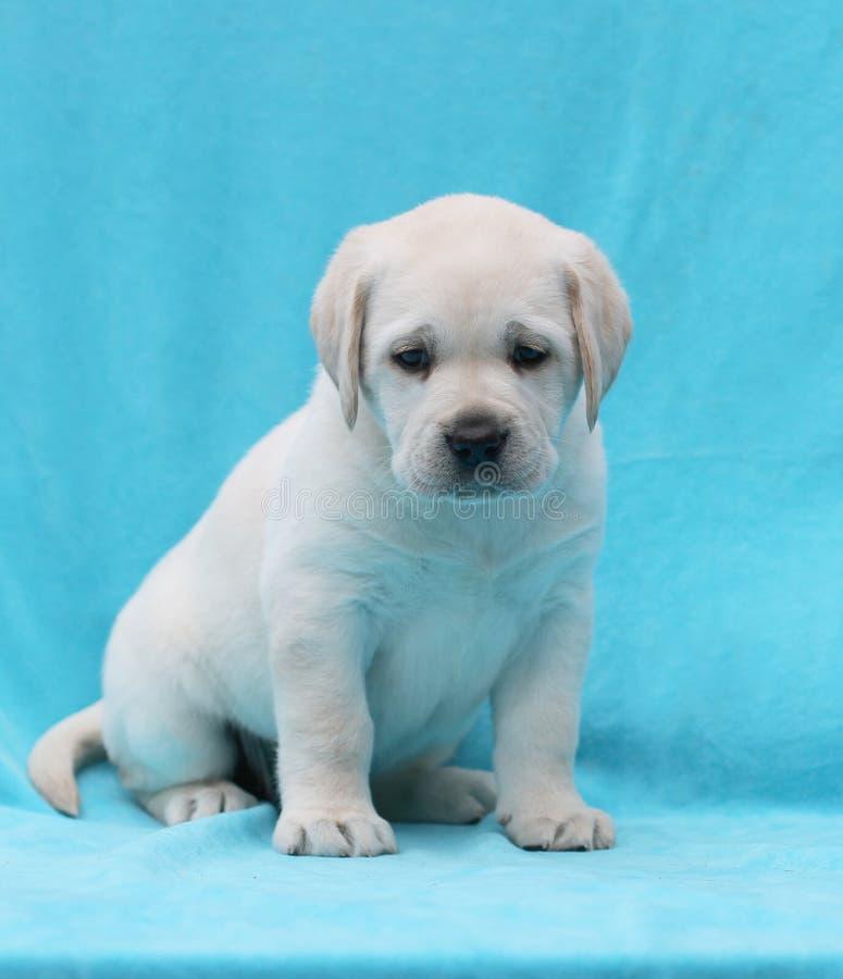 Download Gele Van Het Het Puppyportret Van Labrador Dichte Omhooggaand Stock Foto - Afbeelding bestaande uit spel, kind: 39101032