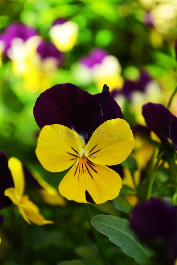 Gele viooltje of altviooltricolor, symboliseert de nederigheid en de herinneringen stock fotografie