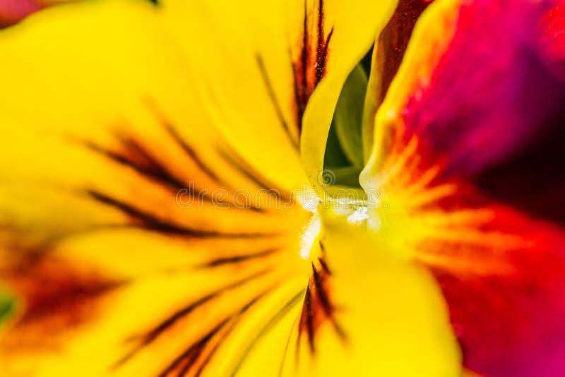 Gele viooltjebloem royalty-vrije stock foto's