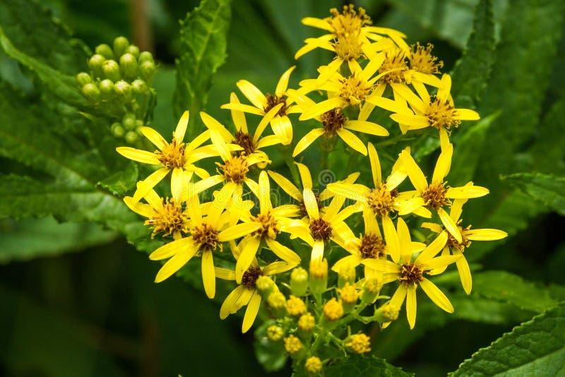 Gele viragaurea van Wildflowers Solidago op Rebun-Eiland, Japan royalty-vrije stock fotografie