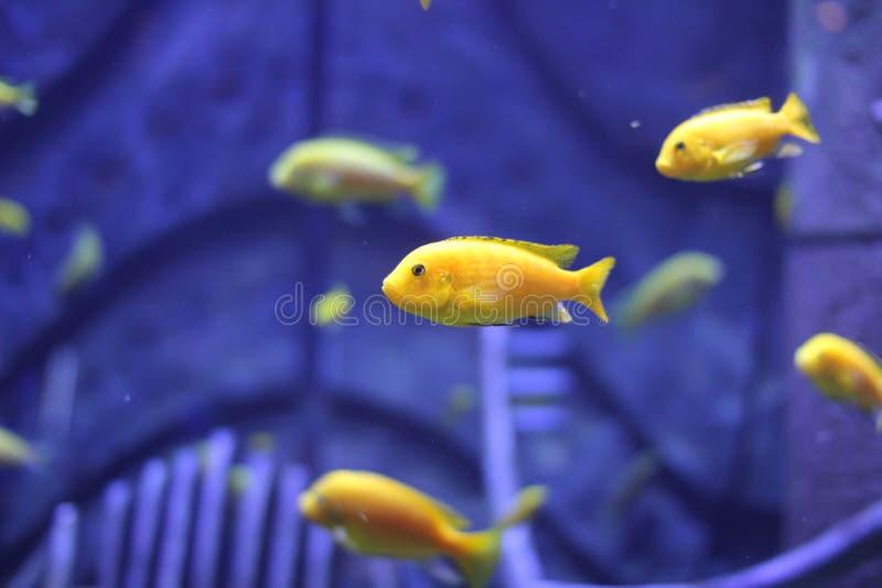 Gele vissen stock afbeelding