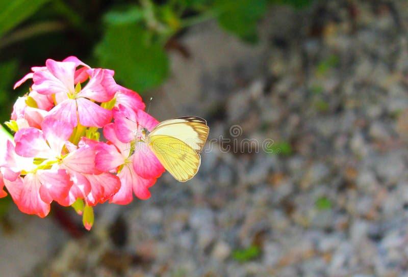 Gele vlinder in een roze bloem stock afbeelding