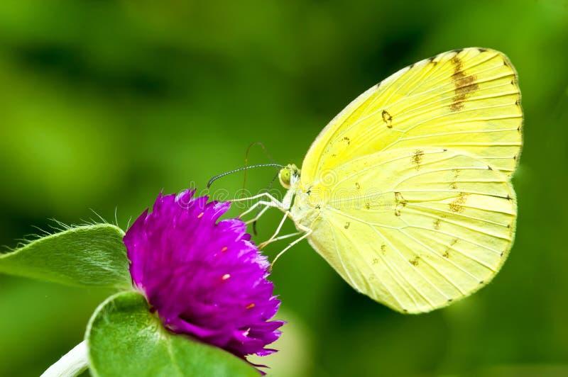 Gele Vlinder op de bloem royalty-vrije stock foto