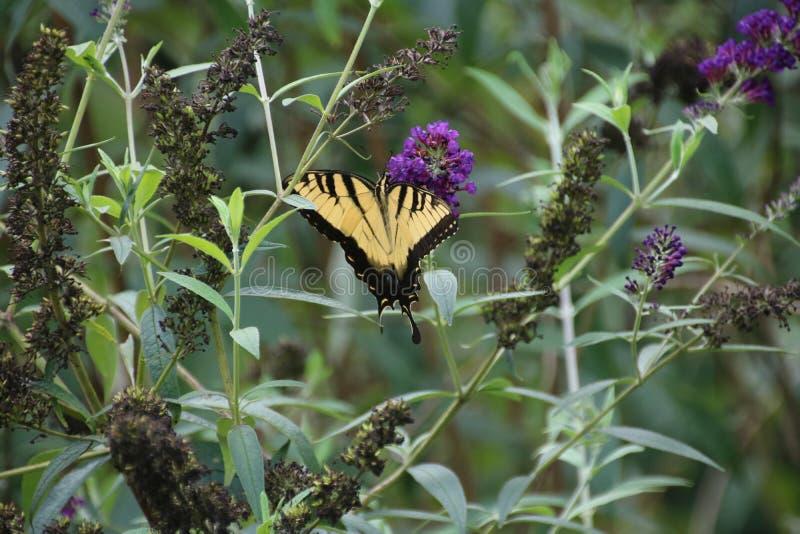 Gele Vlinder op purpere vlinderstruik royalty-vrije stock afbeeldingen