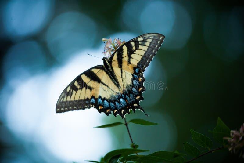 Gele Vlinder op Wit Bloeiend Bush stock fotografie