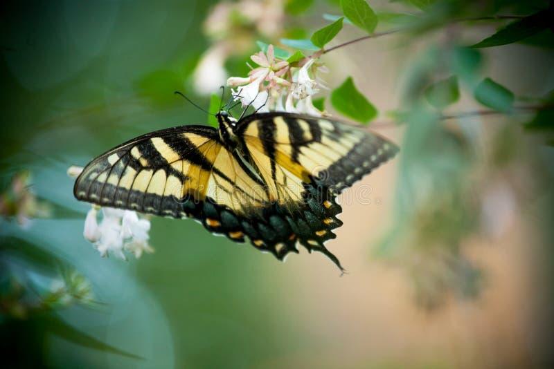 Gele Vlinder op Witte Bloemen stock foto