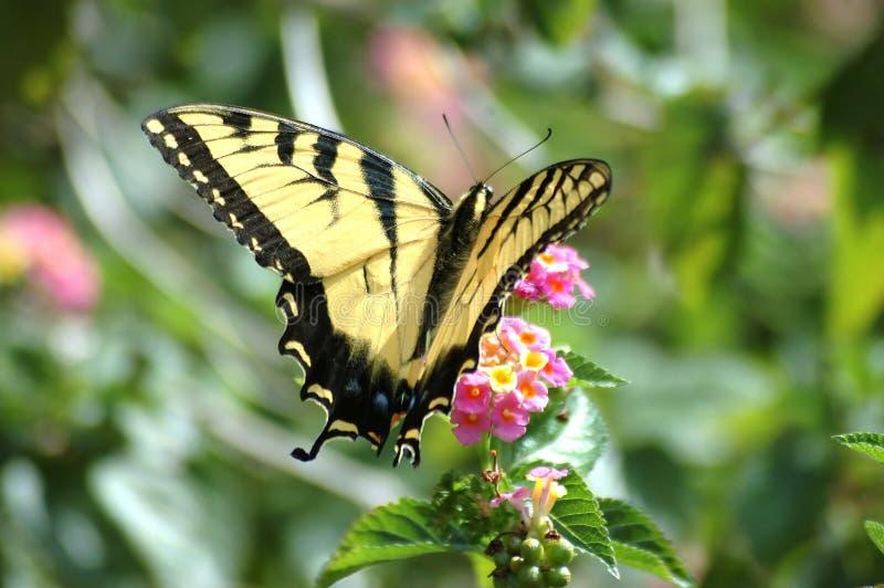 Gele Vlinder Swallowtail stock afbeeldingen