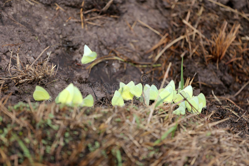 Gele vlinders die mineralen ter plaatse eten royalty-vrije stock afbeelding
