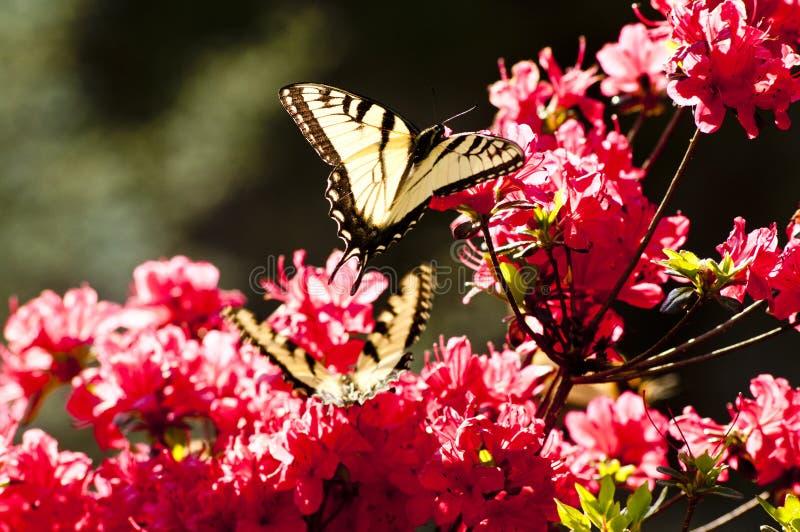 Gele vlinders en roze azalea's stock foto's