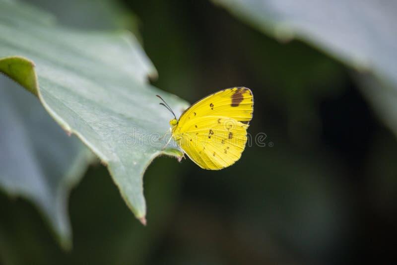 Gele vlinderzitting op een blad stock afbeeldingen