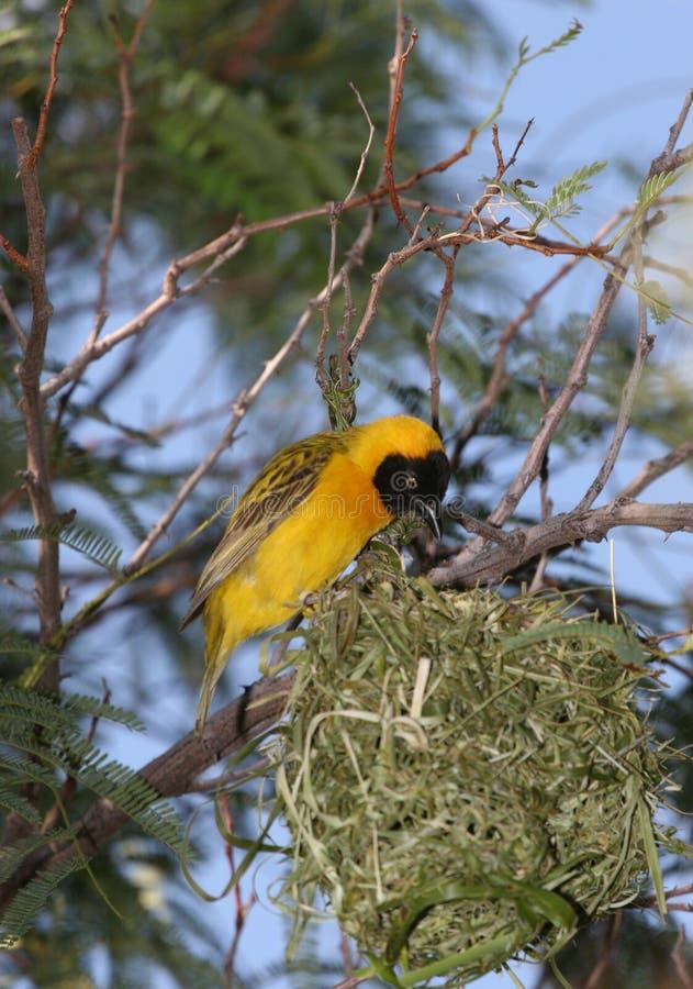 Gele vogel royalty-vrije stock fotografie