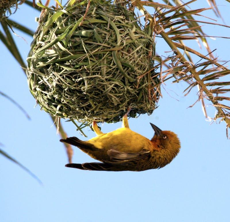 Gele vogel. De Wever van de kaap. stock afbeelding