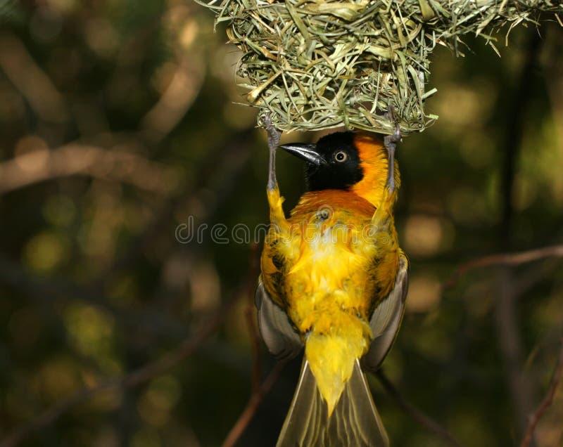 Gele vogel die rond hangt stock foto's
